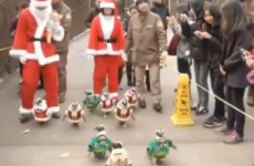 Adorable penguins go on Christmas stroll dressed as Santa