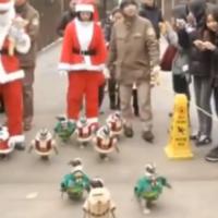 Adorable penguins go on Christmas stroll dressed as Santa
