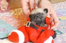 Tiny pug puppy dressed as Santa just wants to be left alone