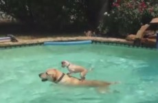 Watch this puppy surf across a pool on another dog's back