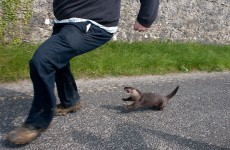 Otter lunacy in Co Clare as farmer rescues frightened animal