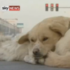 Good samaritan dog refuses to leave friend's side after he was hit by a car