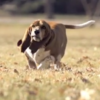 This basset hound running in slow motion is just what you've always longed for