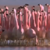 This trippy video of flamingoes dancing to Michael Jackson will certainly make you smile