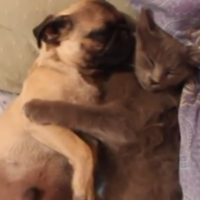 This cat lovingly holding a snoring pug will warm your icy heart