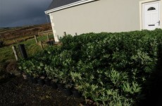 Hundreds of plants seized at cannabis growhouse in Clare