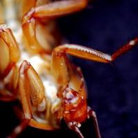 Doctors remove inch-long cockroach from Australian man's ear