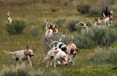 Foxhounds killed after being hit by Iarnród Éireann train