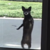This dog does the Thriller dance better than you