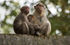 Bananas are actually not that good for monkeys