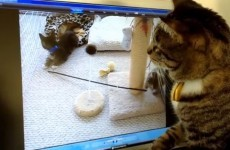 Cat can't understand where TV kittens went to