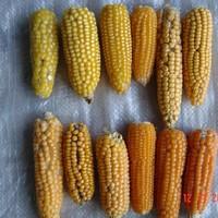 NUI Galway develops vitamin-rich crop to combat malnutrition in Africa