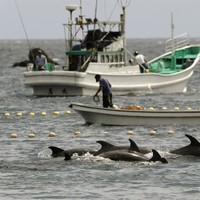 Annual Japanese dolphin hunt documented in 'The Cove' begins amid US criticism