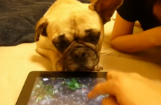 Dog tries to drink water from iPad, can't understand why it's not working