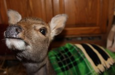 Baby deer recovering after being found shot in ditch