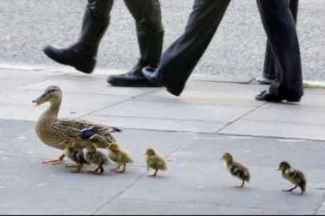 A mother duck and her ducklings lost their way on Kildare Street in Dublin and received a Garda escort back to St Stephens Green today.