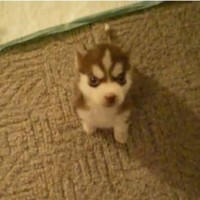 Adorable little puppy is already trained to do tricks