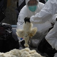 Hong Kong kills 20,000 chickens over bird flu fears
