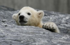 Polar bear cub needs new home after rescue from Alaskan oil field