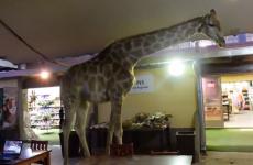 So a giraffe walks into a bar... literally
