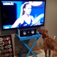This dog bloody loves watching tennis