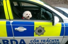 Gardaí found a dog at the wheel of a squad car*