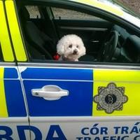Gardaí found a dog at the wheel of a squad car*