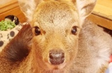 Deer calf Mairead found shot in ditch dies