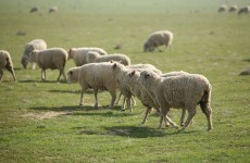 Counting sheep: did you know the sheep census was a thing?