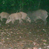 What are all these wild boars* doing running around Ireland?