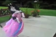 These fabulous salsa dancing dogs will make you crease yourself
