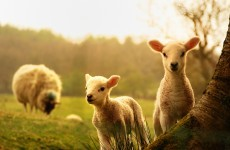 Keep your dogs under control or sheep farmers may shoot them