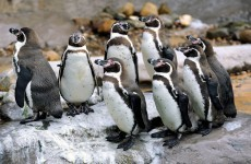 Sad penguins given antidepressants because the British weather is so awful