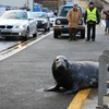 Sammy the seal made a return to Wicklow town during the floods last week