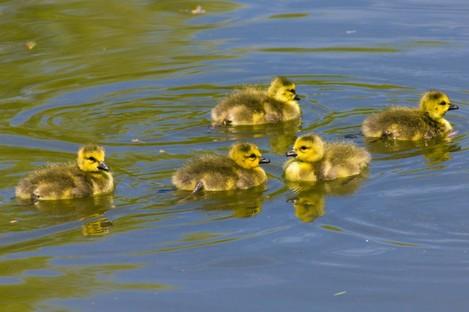 Five lil' goslings