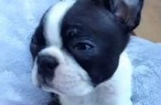 Watch as this tiny puppy is sung to sleep