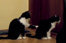 Apologetic cat doesn't take kindly to getting the cold shoulder