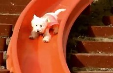 This super dog is absolutely mad about slides