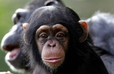 """""""I said COME HERE""""...Chimps use 66 distinct gestures to communicate"""
