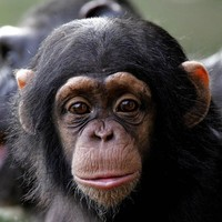 """I said COME HERE""...Chimps use 66 distinct gestures to communicate"