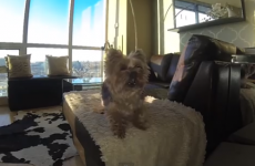 This dog is adorably bad at playing catch