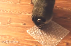 This raccoon has human urges to burst bubble wrap