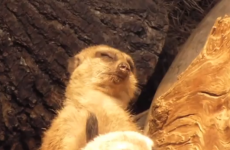 This terrific tired meerkat is you on a Monday morning