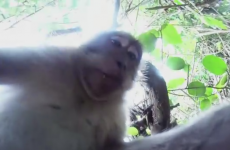 This monkey stole a camera and used it to take hilarious monkey selfies