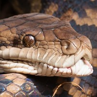 Snake gobbles up crocodile after fierce battle