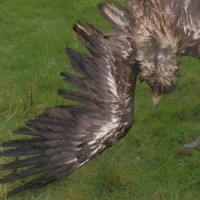 One of the first white-tailed eagles bred in Ireland found dead after being shot