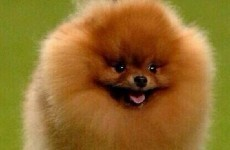 Colin the Pomeranian was ROBBED at Crufts, and here's why