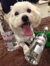 Poisoned puppy cured by getting drunk on a bottle of vodka