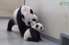 Baby panda refuses to go to bed, cute explosion ensues