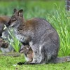 There's an escaped wallaby on the loose near Downpatrick